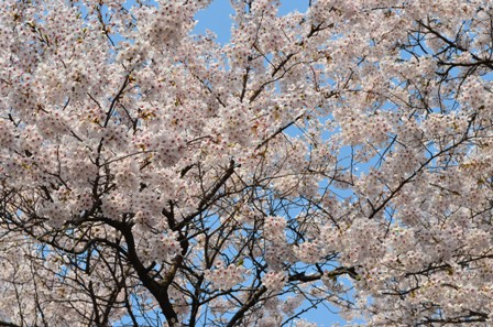 Cherry Blossoms Yeouido sunny trees 2013