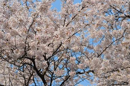 Cherry Blossoms Yeouido sunny trees 2013