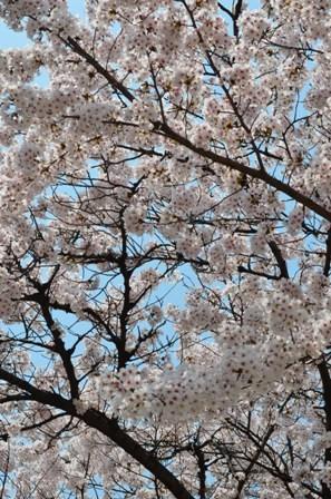 Cherry Blossoms Yongsan 2013