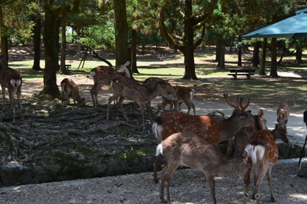 Nara Park deer congregating