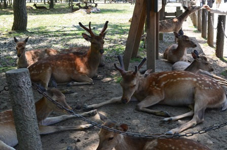 Nara Park deer napping