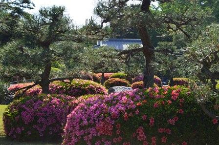 Nijo Castle garden azaelas