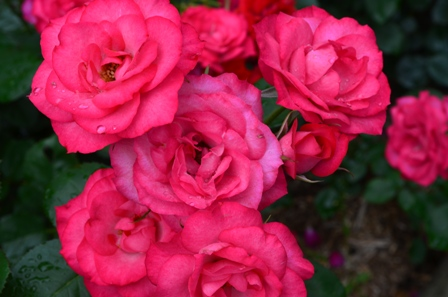 Rose Festival bunches of bright pink roses