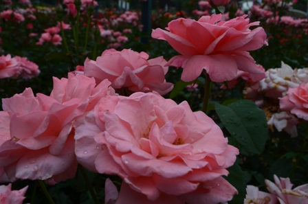 Rose Festival bunches of light pink roses