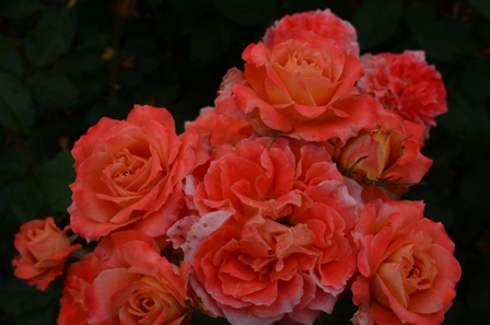 Rose Festival bunches of orange roses