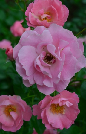 Rose Festival bunches of pretty pink roses