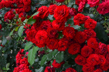 Rose Festival bunches of red roses