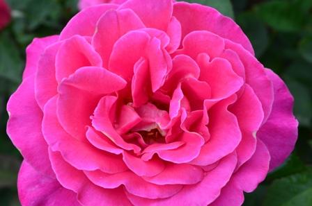 Rose Festival closeup of perfect pink rose