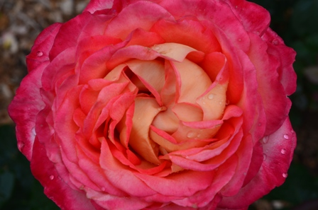 Rose Festival fluffy pink and orange rose closeup