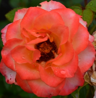 Rose Festival orange and pink rose closeup