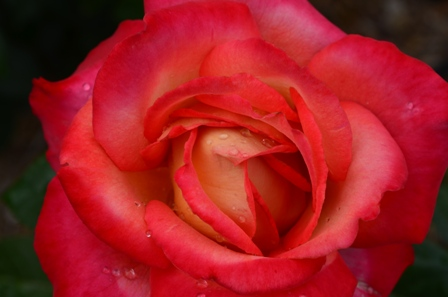 Rose Festival pink and orange rose closeup