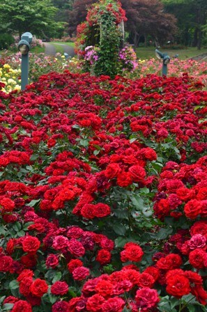 Rose Festival Rows Of Red Roses