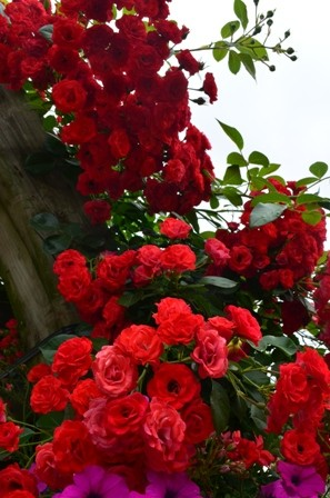 Rose Festival tunnel flower closeup