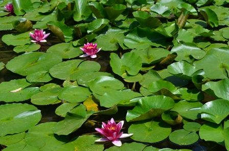 Shinen Gardens waterlily pond closeup