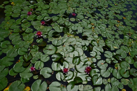 Shinen Gardens waterlily pond overhead wide view
