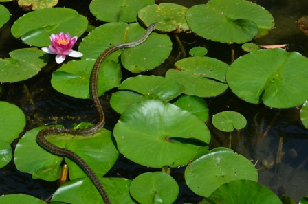 water snake at Shinen Gardens waterlily pond