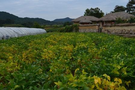 Andong Hahoe Maeul crop fields