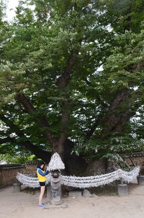 Andong Hahoe Maeul Samsin Goddess tree