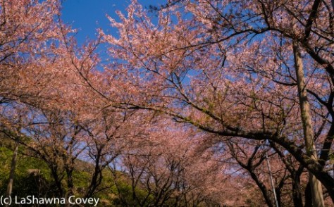 Hwage Cherry Blossoms and Buril Falls-1
