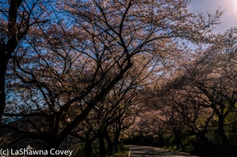 Hwage Cherry Blossoms and Buril Falls-16