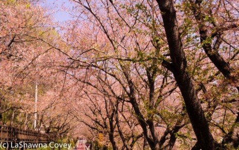 Hwage Cherry Blossoms and Buril Falls-3