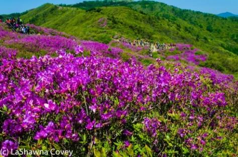 Jirisan Baraebong Royal Azalea Hik-13