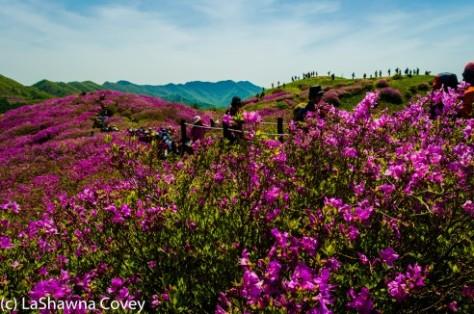 Jirisan Baraebong Royal Azalea Hik-14