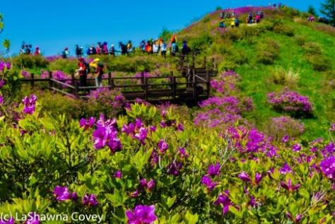 Jirisan Baraebong Royal Azalea Hik-19