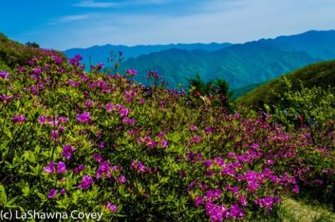 Jirisan Baraebong Royal Azalea Hik-8