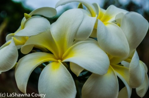 Fiji Flora-13